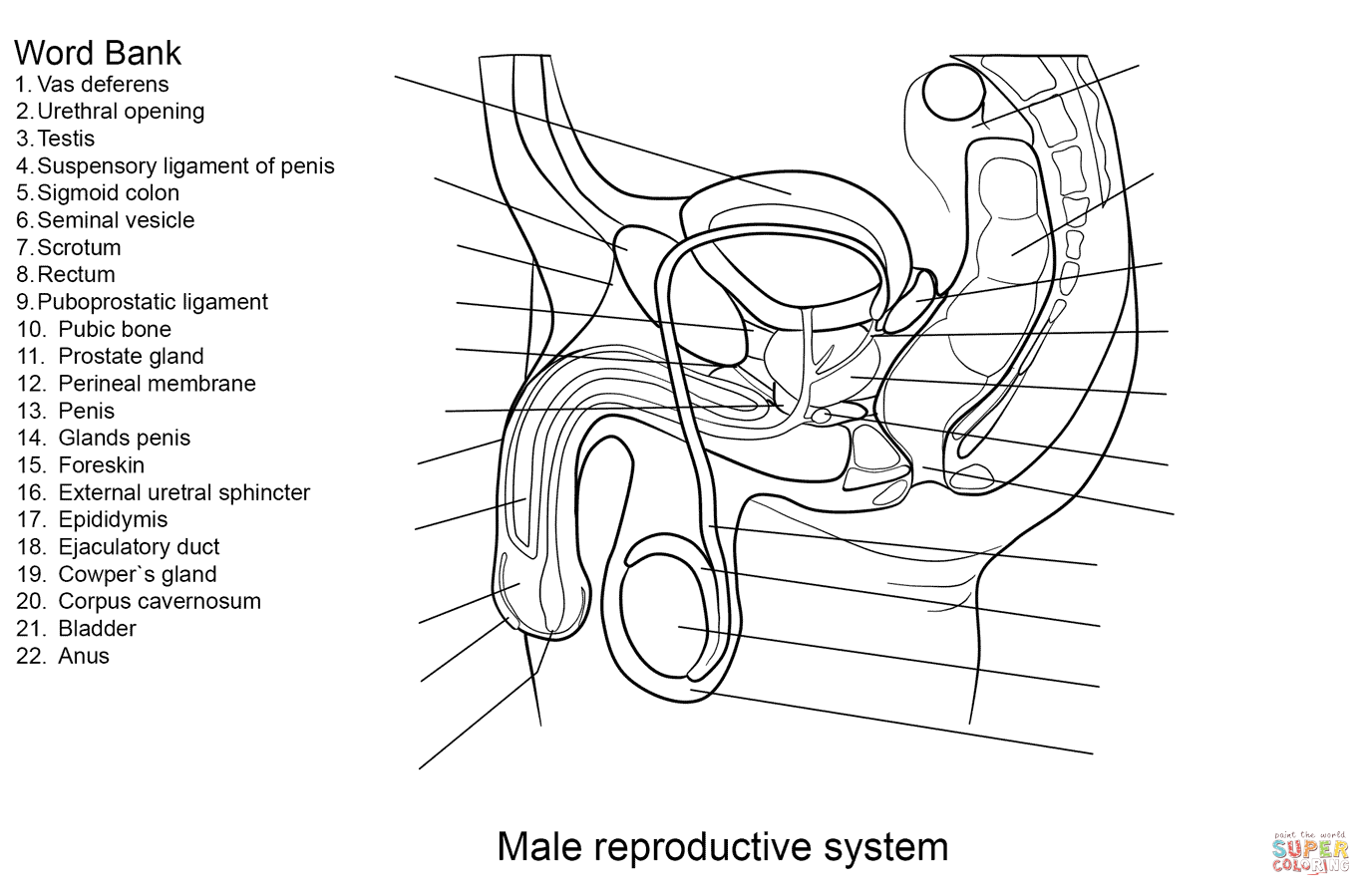 Click the male reproductive system worksheet coloring pages