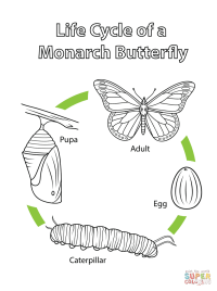Monarch Butterfly Life Cycle Worksheet | www.imgkid.com ...