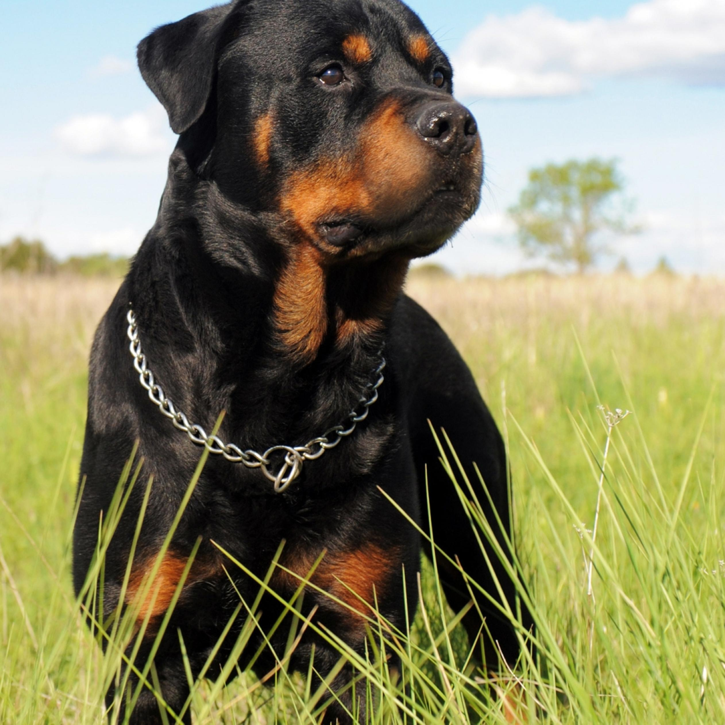 Pitbulls And Girls Wallpaper A Black Rottweiler Dog In The Grass Field Wallpaper