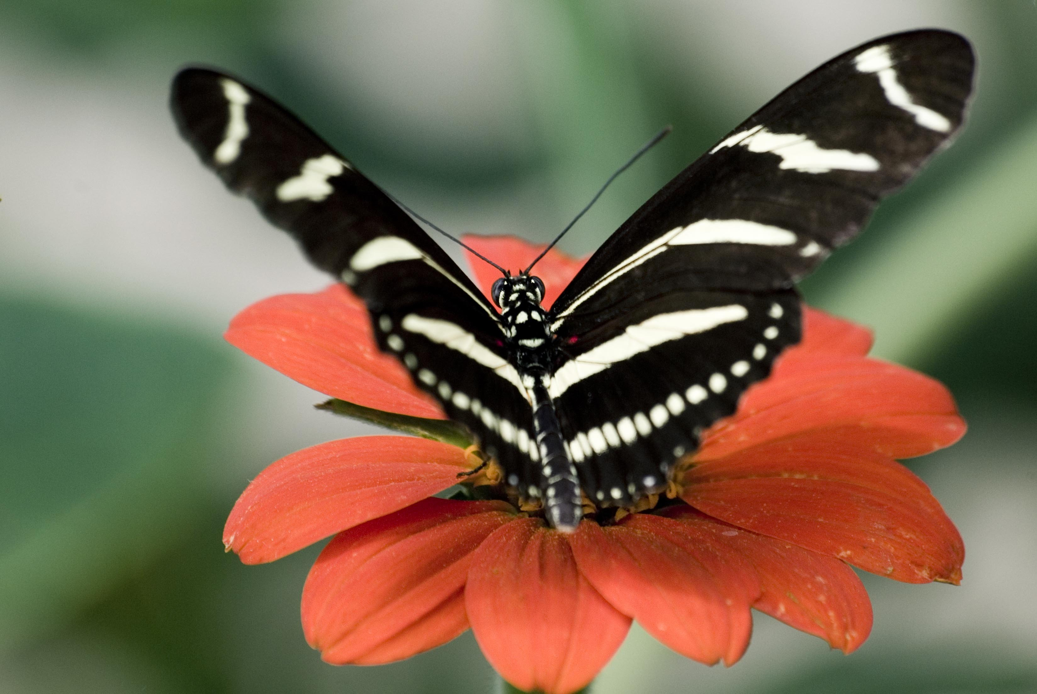 Cute 3d Cartoon Wallpapers Big Black And White Butterfly On A Flower