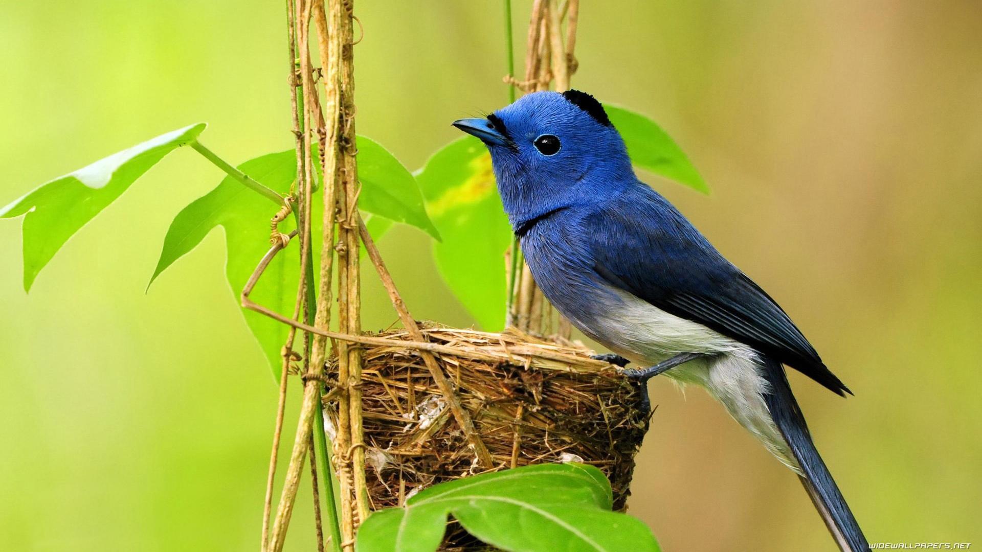 Girls Of The Wilds Wallpaper Blue Bird Make His Own Nest Hd Wallpaper