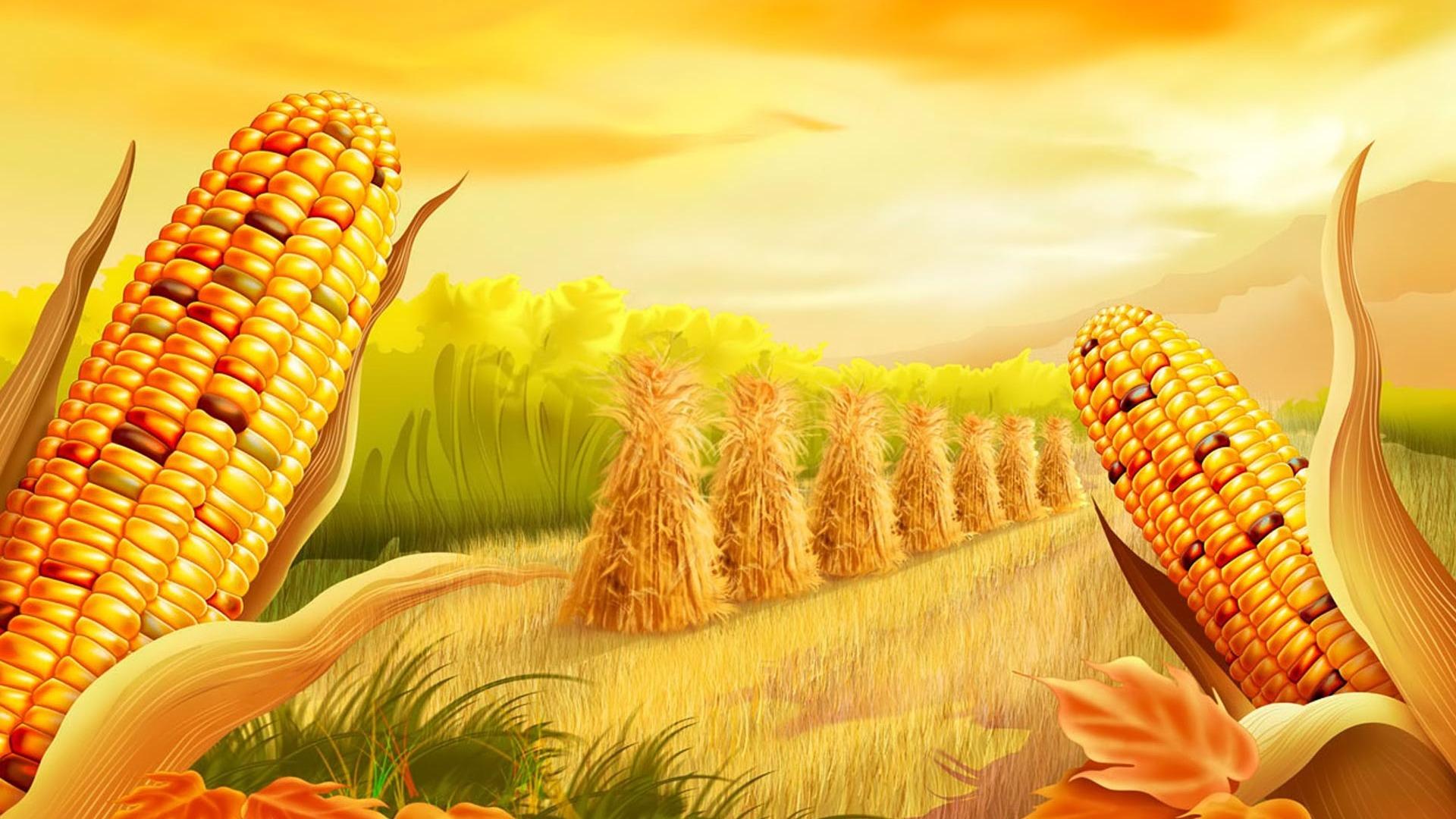 Cute Fall Background Wallpaper Corn Ready To Harvest Golden Hd Wallpaper