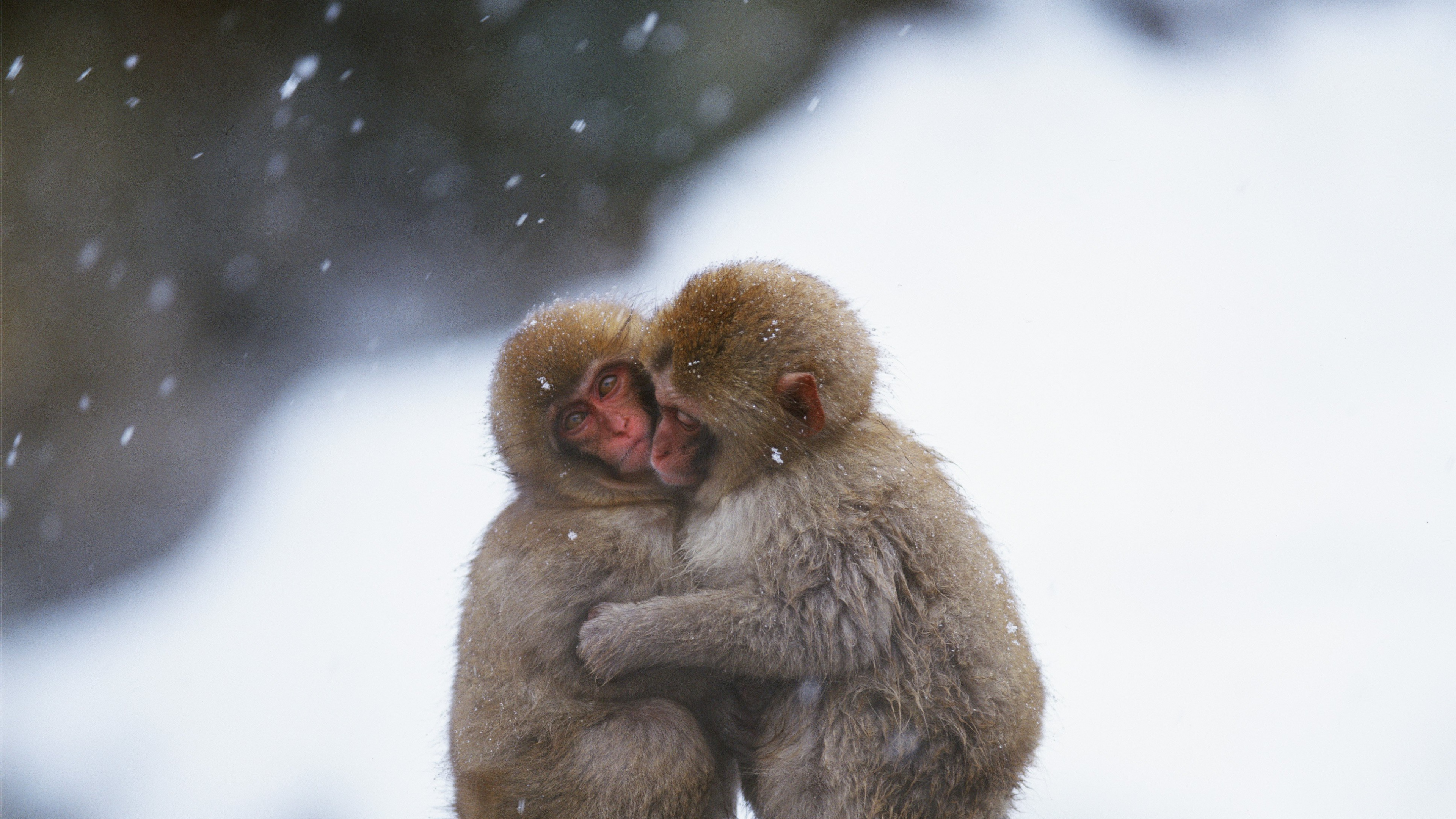 Girls Of The Wilds Wallpaper Embrace Between Two Monkeys In A Cold Day