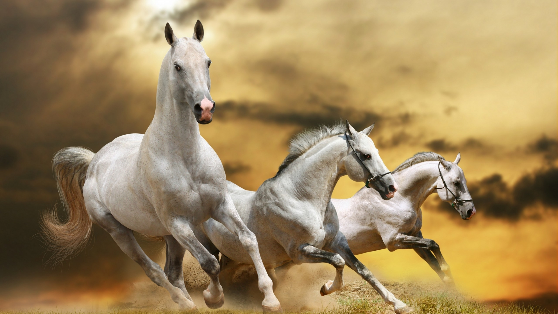 White Cute Cats Wallpapers Three Beautiful White Horses Running