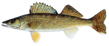 Walleye facts will help you when fishing for walleye
