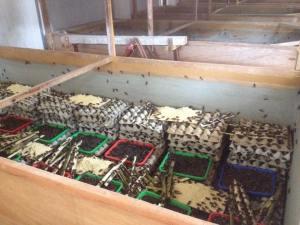 Surya jangkrik | peternakan jangkrik tulungagung