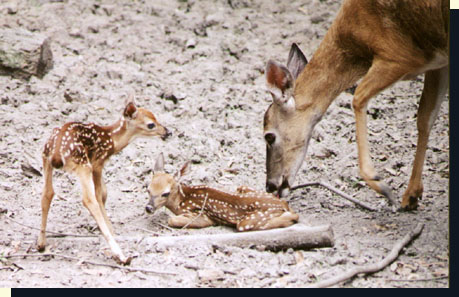 Whitetail fawns, behavior and environment