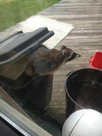 bb raccoon