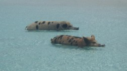 Swimming Pigs at Staniel Cay