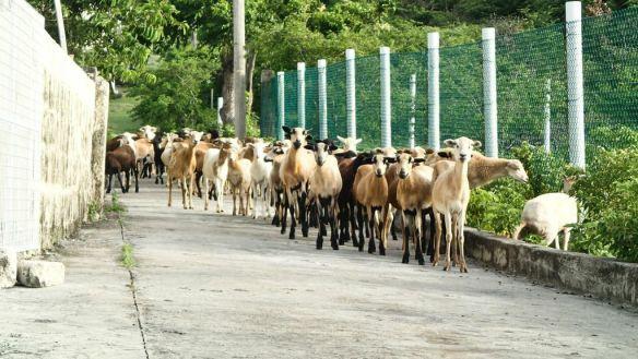 Sheep and Goats of Union Island