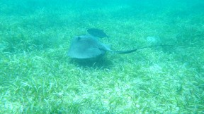String Ray with his fish buddy