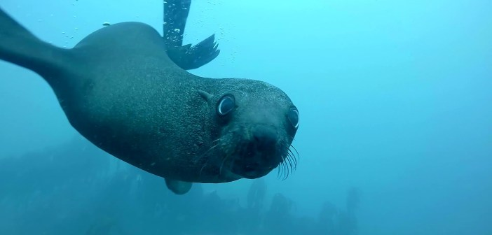 A Vicarious Freedive With Seals in the Atlantic Ocean