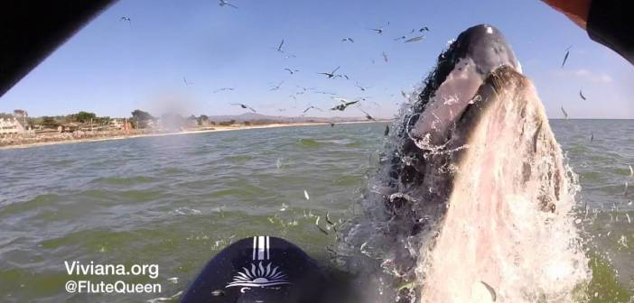 Paddle Board Flutist Surprised by Leaping Humpback Whale
