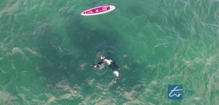 Orca frolics with a swimmer in rare, kinda dangerous close encounter