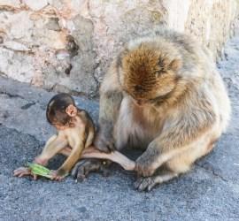 Morgenstell blant Gibraltarapene