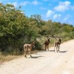 Luntende esler langs landeveiene på Barbuda