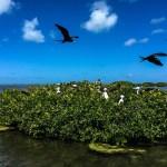 Noen nykomlinger titter frem fra mangrovehekken i fregattfuglreservatet