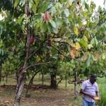 Tunge henger de på trærne og gir en uimotståelig duft utover området rundt sjokoladefabrikken...