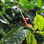 Arabica-kaffen vokser under ypperlige forhold i Minca