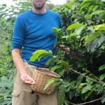 Skippern plukker kaffebønner