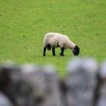 Sauen Shaun - mye husdyrhold på Islay