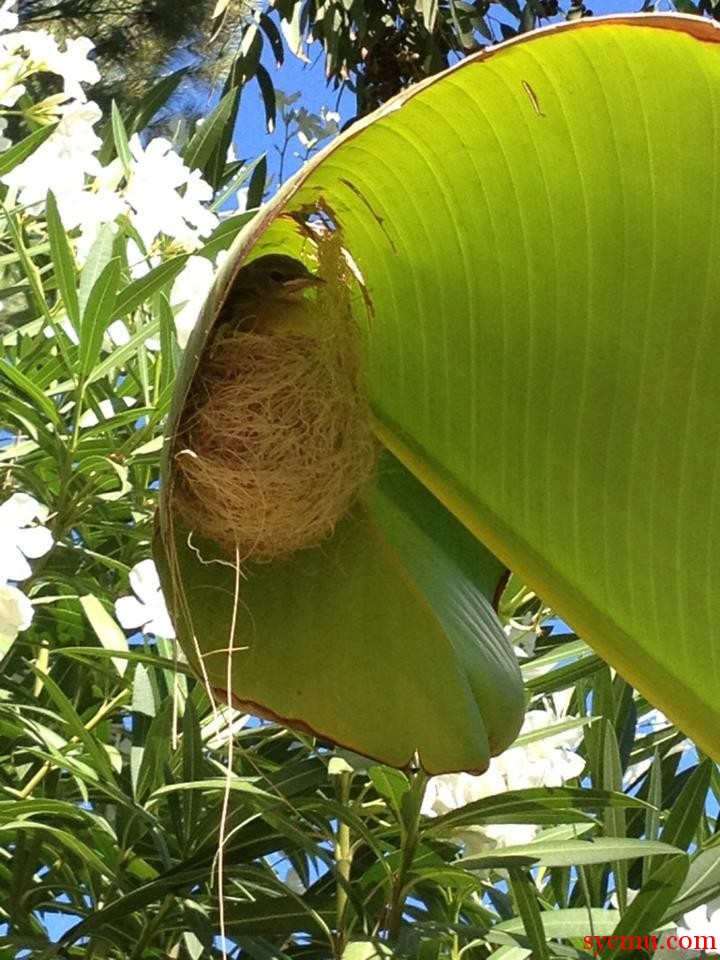 Bird builds a nest in giant leaf