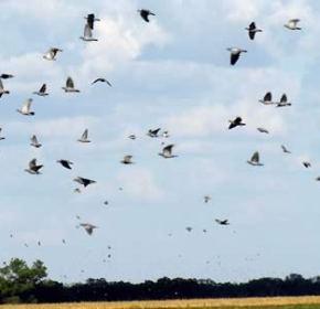 pigeons hunt