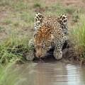 leopard_wateringhole