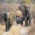 elefanter-i-grupp