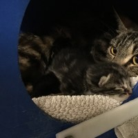 Feral Mom Cat with Prolapsed Uterus Reunited with Kittens - San Jose Animal Care Center Veterinary Vet Surgery Animal Shelter