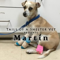 Martín - Hit By a Car, Degloving Wounds with Bone Exposed San Jose Animal Care Center Vet Animal Shelter Adoption