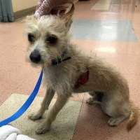 German Shepherd Attacked Small Dog Deep Wounds Repaired by San Jose Animal Shelter Veterinarians