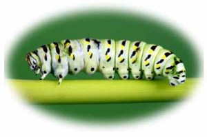 10049576 - swallowtail butterfly caterpillar