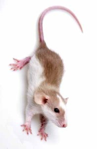 19130478 - little mouse isolated on a white background