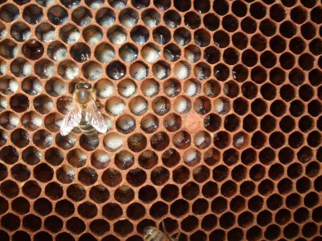 uncapped honeybee brood