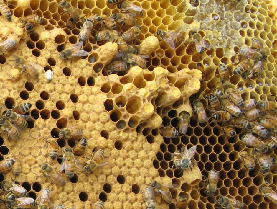 Worker and drone brood with emergency queen cell