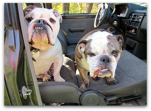 two bulldogs in my truck