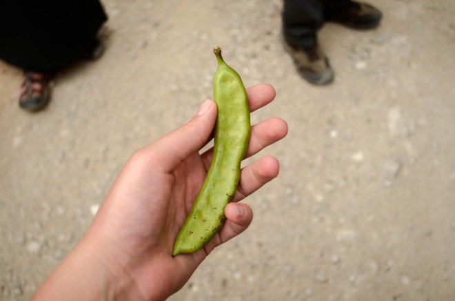 """A """"locust"""" bean pod similar to carob. Could this be what John the Baptist ate with his honey?"""