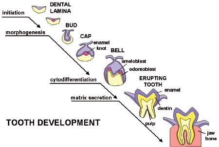 How to build a tooth? Developmental biology is revealing the