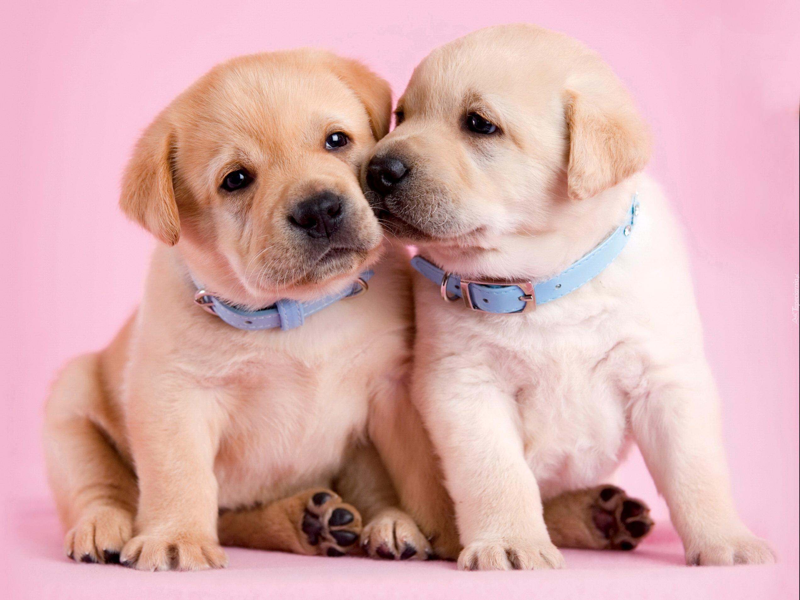 Pink Wallpaper With Cute Puppy Golden Retriever Dwa Szczeniaczki Labrador