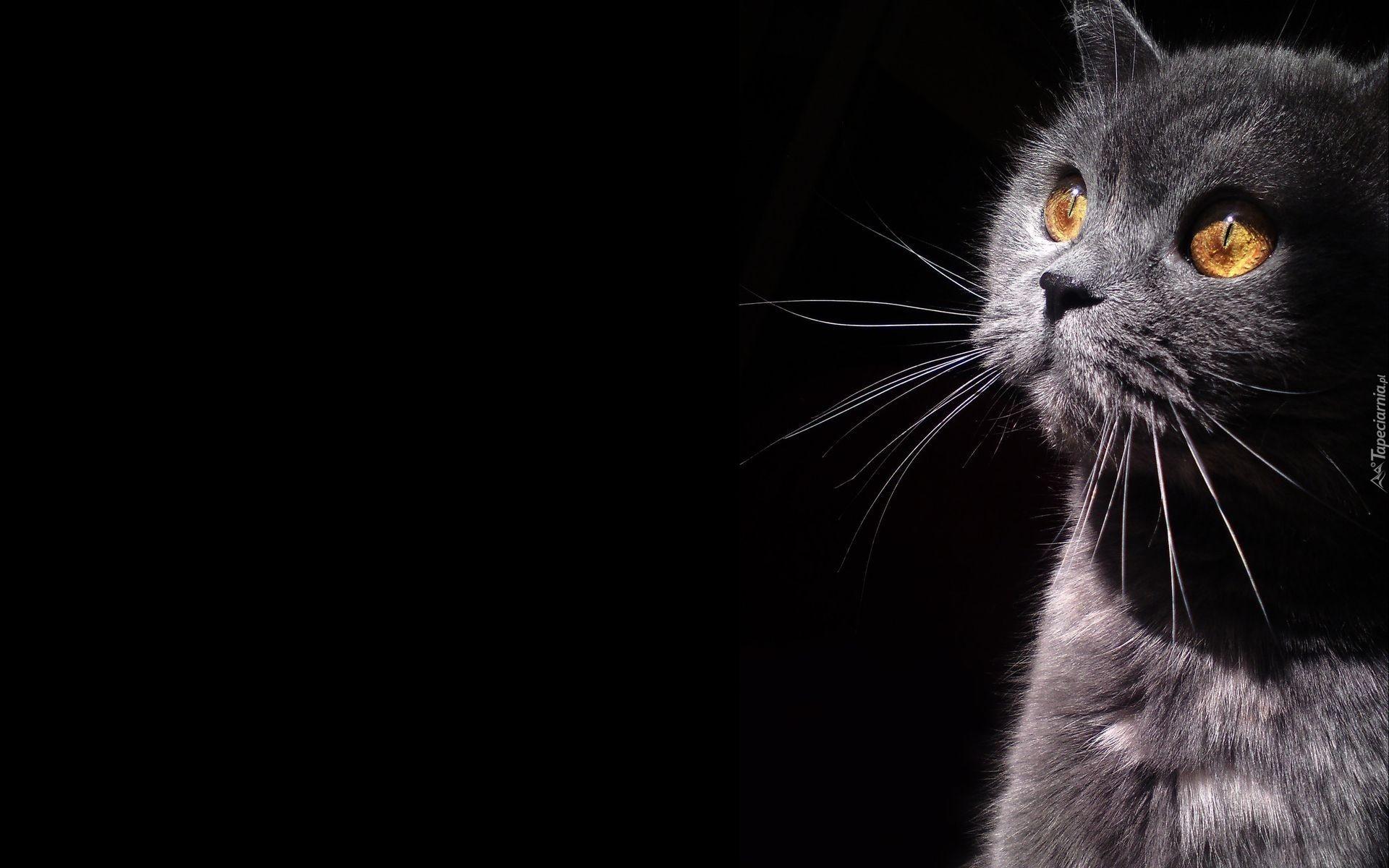 Black Cat Eyes Wallpaper Szary Kotek Czarne Tło