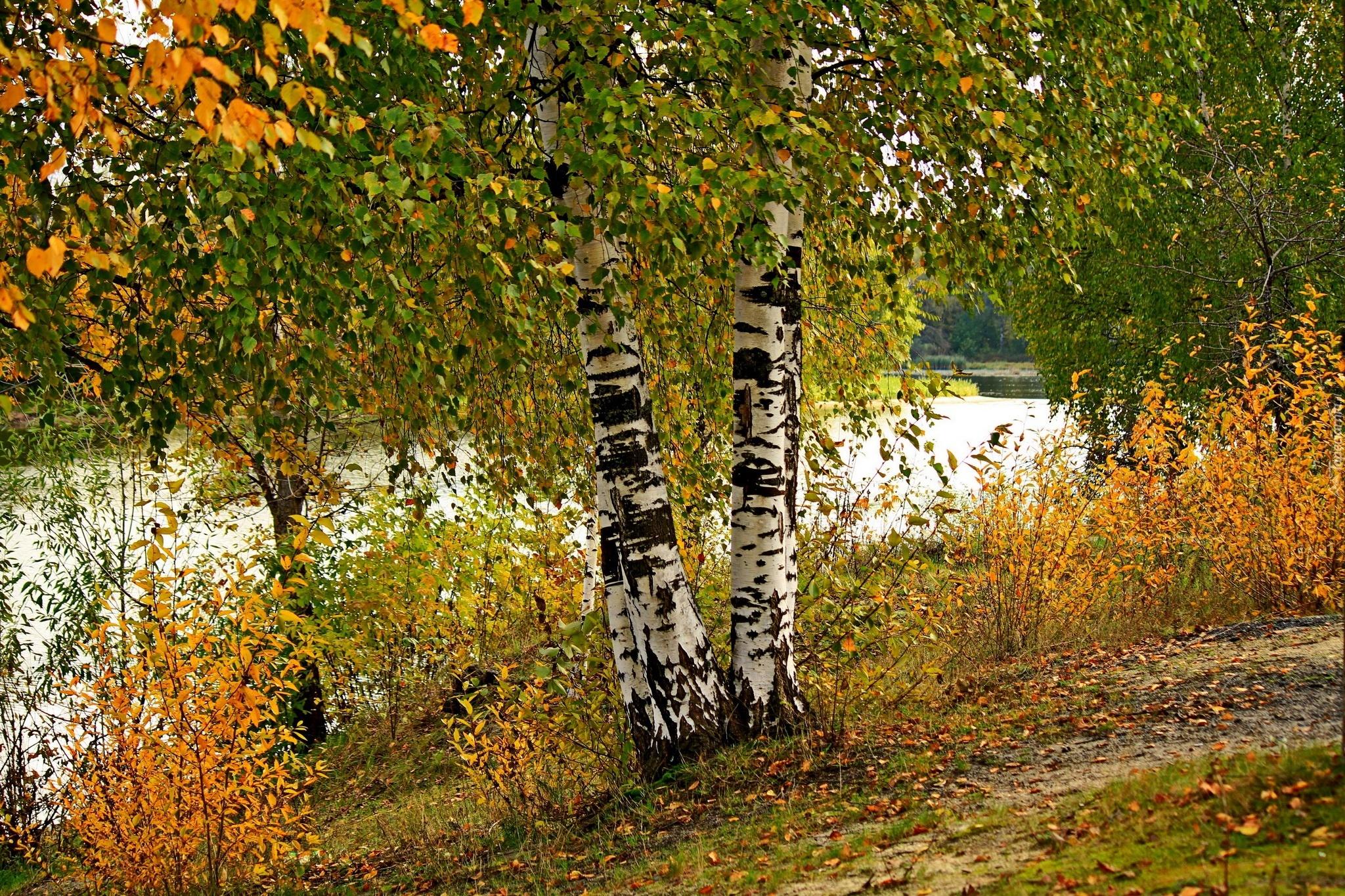 Pure Michigan Fall Wallpaper Rzeka Brzozy Liście Jesień