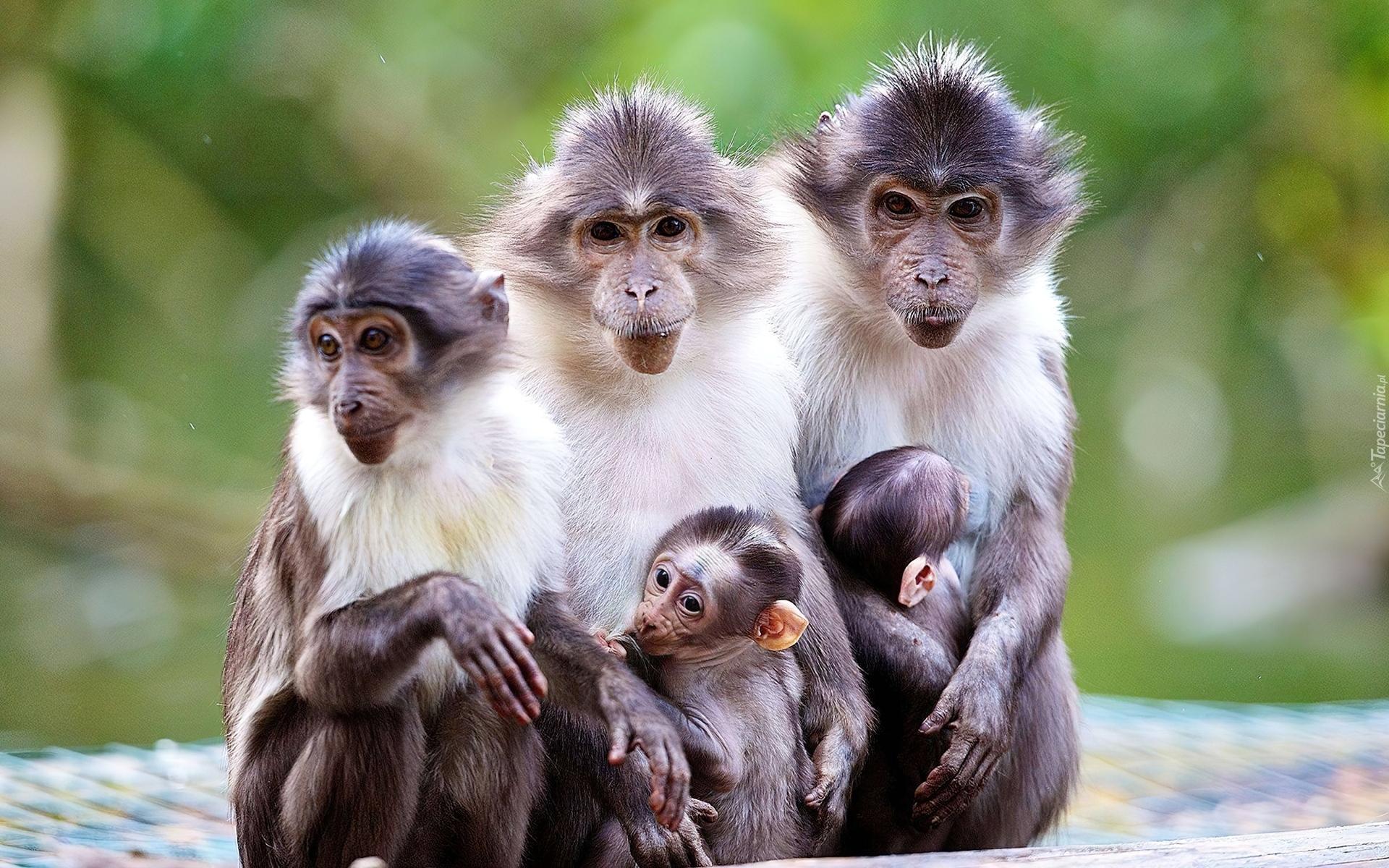 Cute Monkey Wallpapers For Mobile Małpki Małpy