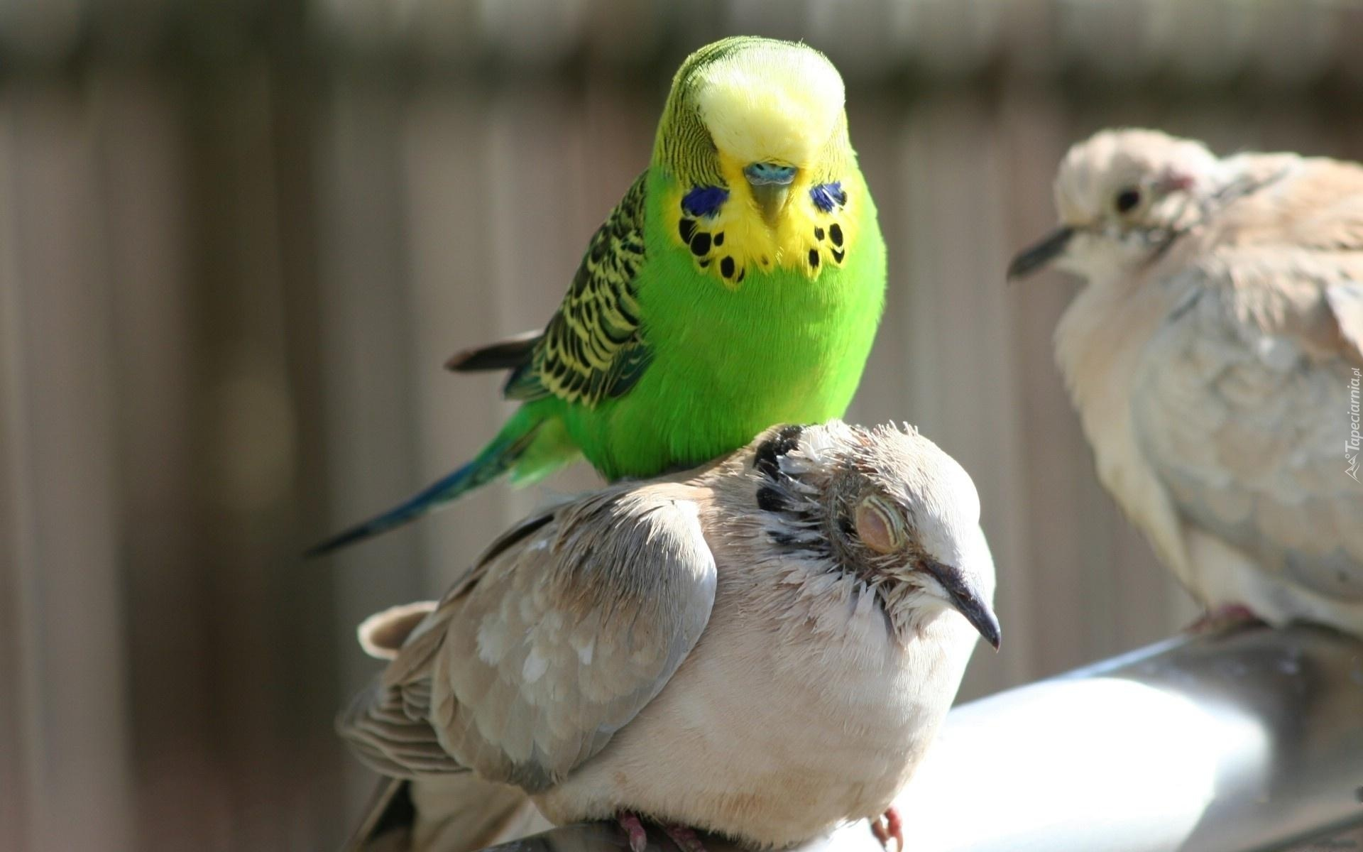 Cute Parakeet Wallpaper Papuga Falista Ptaki