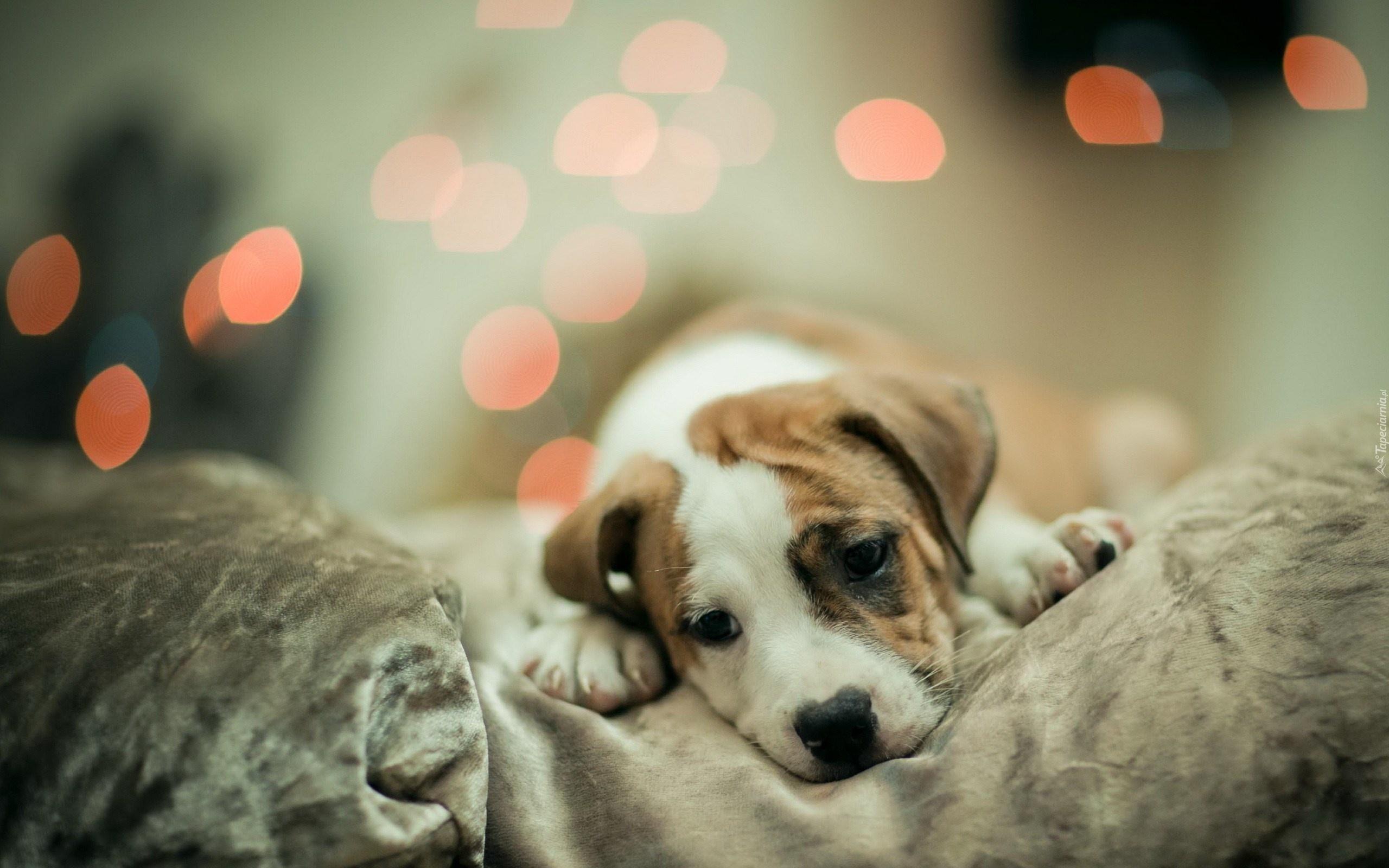 Cute Dachshund Wallpaper Tapety Amstaff American Staffordshire Terrier