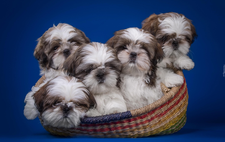 Cute Shih Tzu Puppies Wallpaper Pieski Shih Tzu