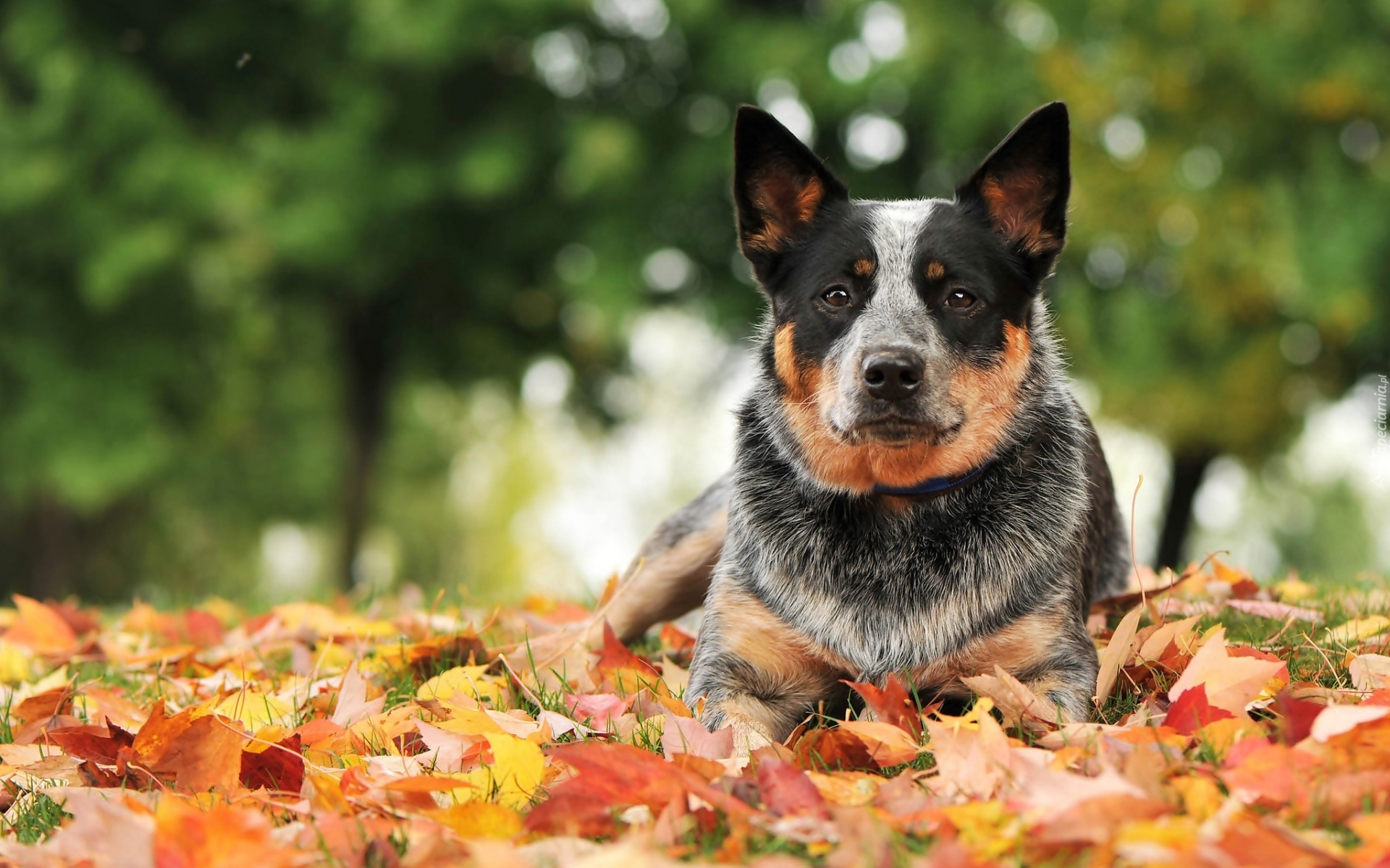 Playing In The Fall Wallpaper Australijski Pies Pasterski Australian Cattle Dog