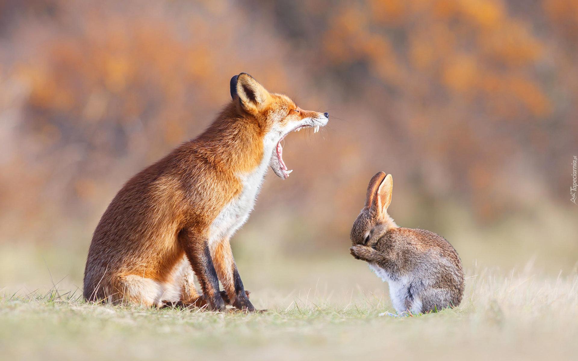 Cute Baby Rabbit Wallpapers Lis Skarcił Zajączka