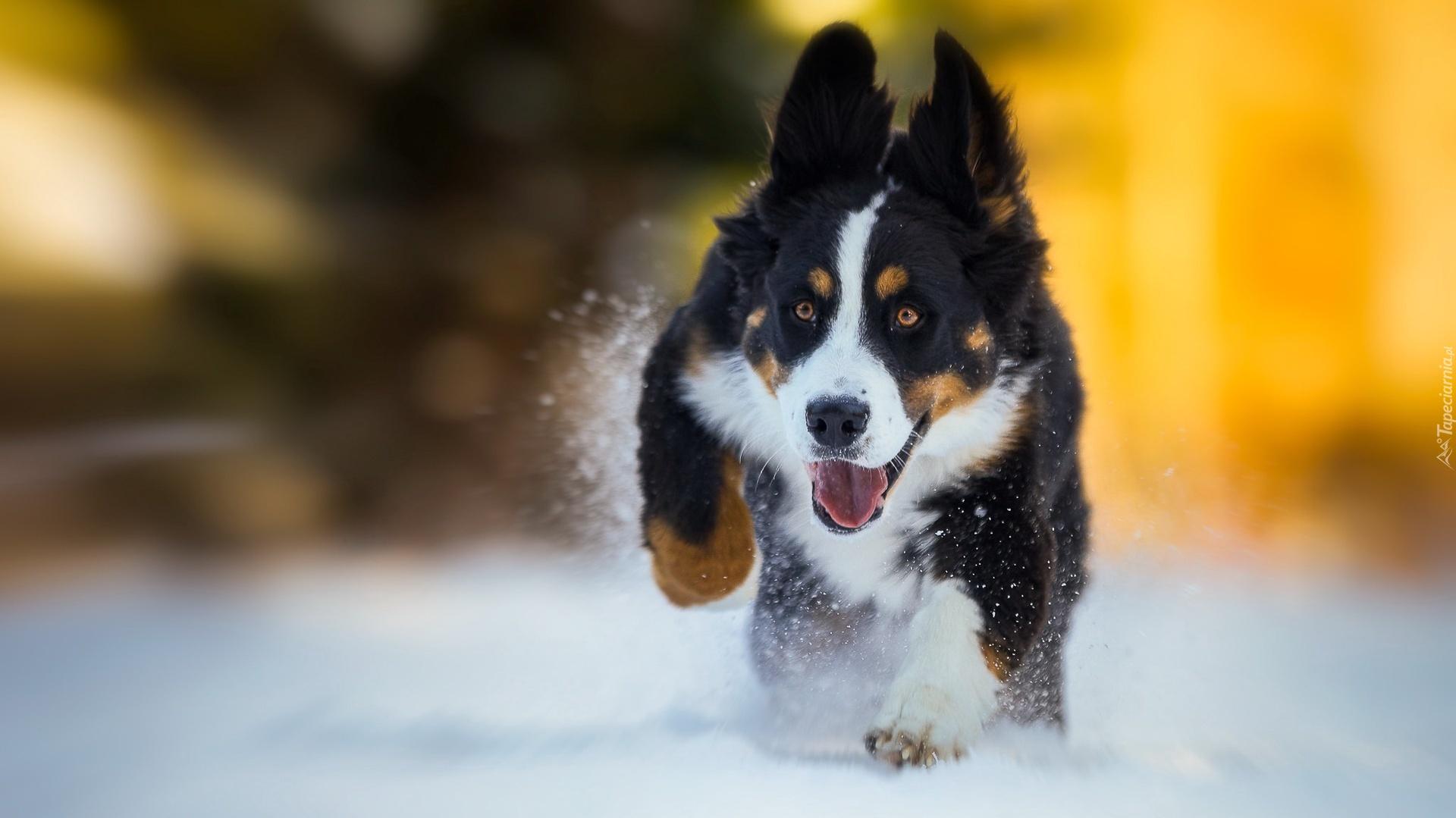 A Cute Puppy Wallpaper Mały Berneński Pies Pasterski Biegnie Po śniegu