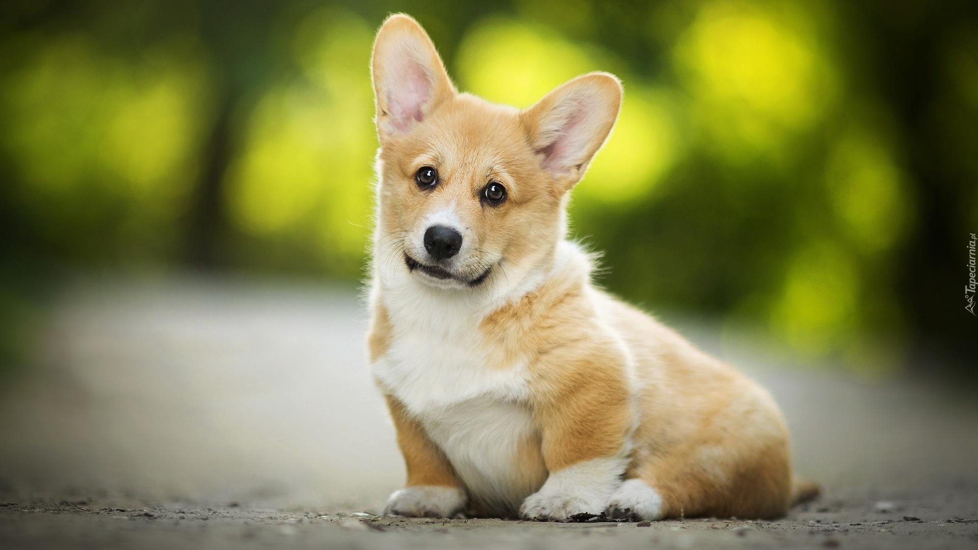 A Cute Puppy Wallpaper Siedzący Szczeniak Welsh Corgi Pembroke